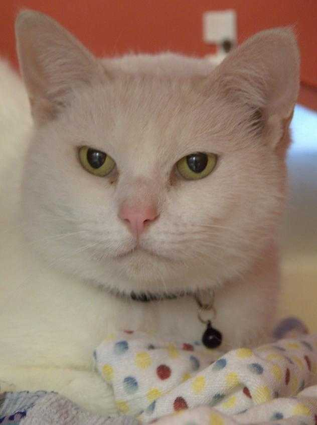 Hi! My name is Silvia! I came to the MSPCA because I was found as a stray and a nice person brought me here to find my forever home. I am a little bit shy because of all the new sounds and smells, but if you are patient and let me warm up to you, I will show off my sweet, loving personality. I especially love scratches behind my ears and on my face and might even let out a little happy meow if you're lucky : I have a lot of love to give and would love to go home with you to give it! MORE