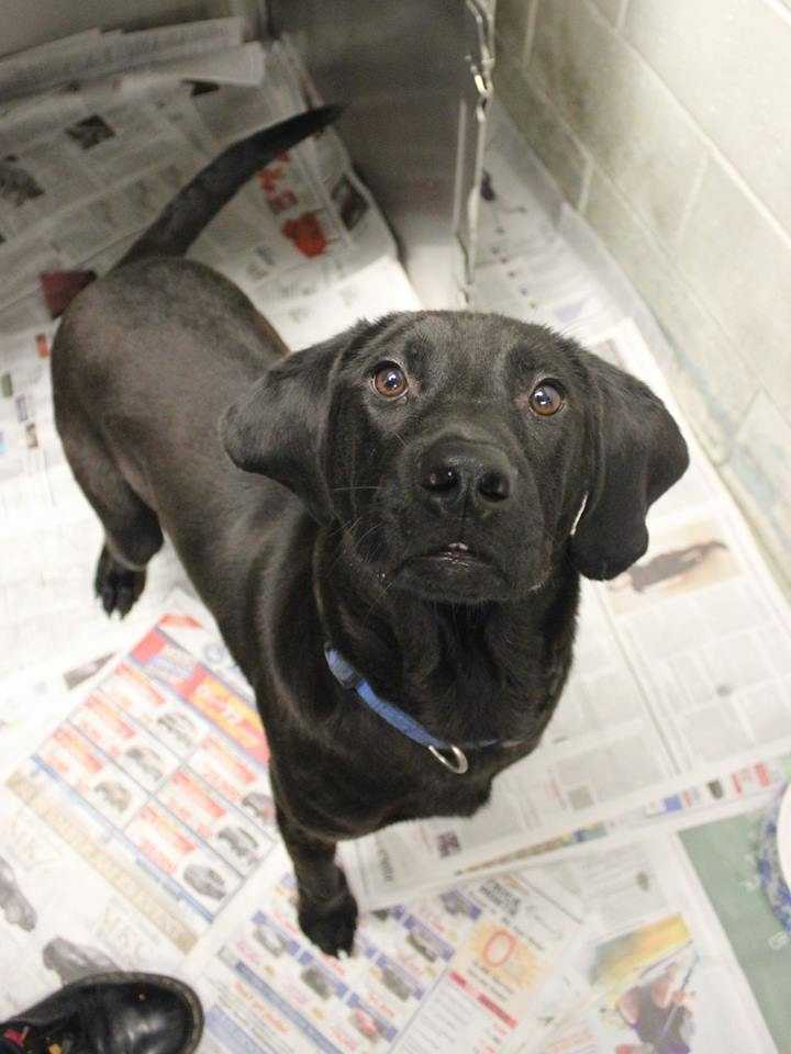 My name is Biggley! I am a 1-year-old male Black Lab mix. I am a big, wiggley guy! I am not quite housebroken, but I have started learning! I would love to be part of an active, outdoors-y family. I get along well with other dogs of all sizes, but I'm not sure how I feel about cats. I've never lived with kids, but I'll be fine with dog-savvy kids ages 10+. For more information, please call, visit, or email the shelter. Buddy Dog Humane Society, Inc. Sudbury, MA (978) 443-6990 or info@buddydoghs.com.