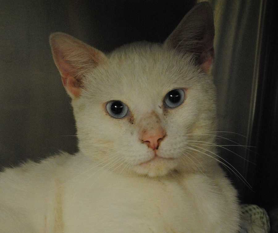 My name is Blue! I am a 2-year-old male DSH. I was found as a stray, so not much is known about my history. I am FIV+, so I will need to be the only cat in my new home. I am also most likey deaf. For more information about me, please call, visit, or email the shelter. Buddy Dog Humane Society, Inc. Sudbury, MA (978) 443-6990 or info@buddydoghs.com
