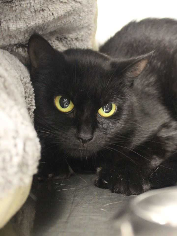 My name is Ella, I'm a 1-year-old female DSH. I get along well with other cats, but I'm not a fan of dogs. For more information, please call, visit, or email the shelter. Buddy Dog Humane Society, Inc. Sudbury, MA (978) 443-6990 or info@buddydoghs.com
