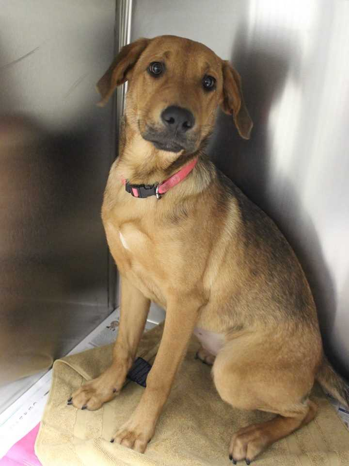 My name is Honey! I am a 6-month-old female Hound mix. I am very sweet (but sometimes I can be a little shy when meeting new people). I get along well with dogs of all sizes, but I'm not sure how I feel about cats. I am definitely still a puppy at heart! My new home will need to help me learn things like housetraining and crate-training, as well as take me to obedience class. For more information, please call, visit, or email the shelter. Buddy Dog Humane Society, Inc. Sudbury, MA (978) 443-6990 or info@buddydoghs.com.