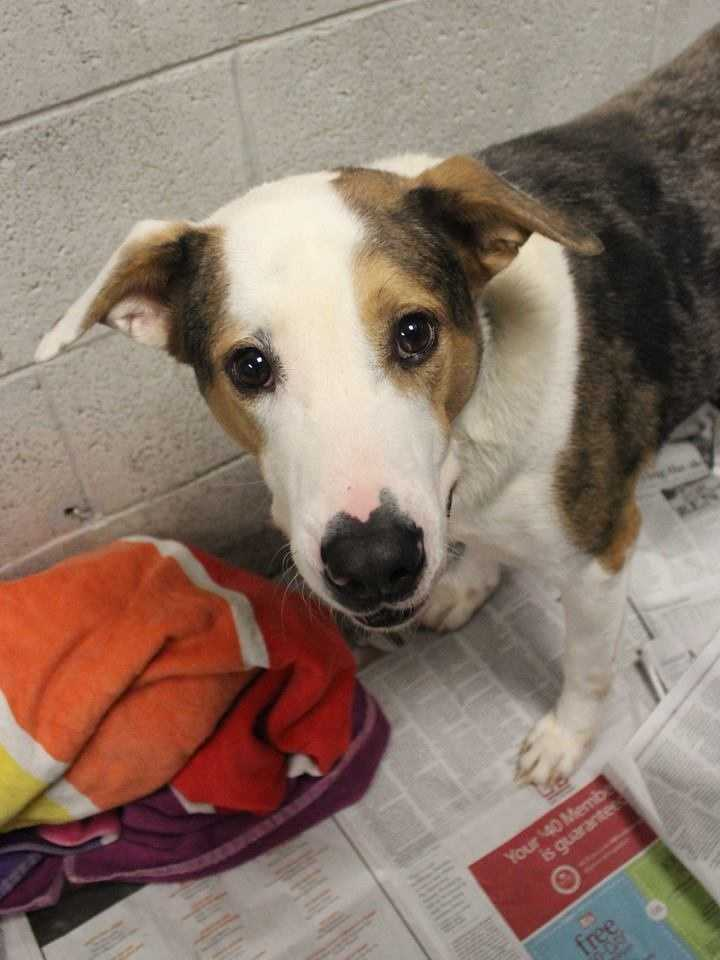 My name is Russell! I am a 3-year-old male Australian Shepherd mix. I am very clean in my kennel, so I think I might be housebroken. I am a little shy when I first meet new people, but don't hold that against me! I love affection, and I'm usually a pretty laid-back. I get along well with other dogs, but I'm not sure how I feel about cats. For more information, please call, visit, or email the shelter. Buddy Dog Humane Society, Inc. Sudbury, MA (978) 443-6990 or info@buddydoghs.com.