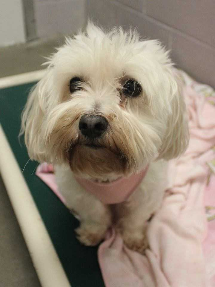 My name is Sasha! I am an 8-year-old female Havanese and Maltese mix. I am a happy-go-lucky girl with tons of love to give. I like to play&#x3B; my favorite games are fetch and squeaking my squeaky toys! I am crate-trained, but not housebroken (I do use pee-pee pads, though!). I seem to get along well with other dogs, and cats! I will do fine in a home with kids ages 5+. For more information, please call, visit, or email the shelter. Buddy Dog Humane Society, Inc. Sudbury, MA (978) 443-6990 or info@buddydoghs.com.