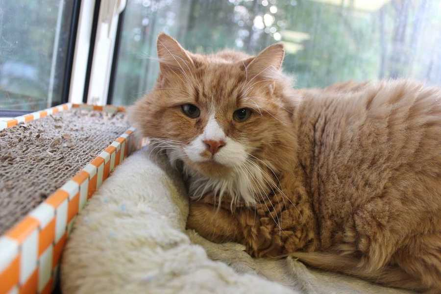 My name is Sydney! I am an 11-year-old male DLH. I'm a low-key, sweet, and good-natured guy. I'm looking for a forever home where my people will give me space to do my own thing (I'm not too much of a lap cat) but still wants a cat who's affectionate. I am still settling in here at Buddy Dog. For more information, please call, visit, or email the shelter. Buddy Dog Humane Society, Inc. Sudbury, MA (978) 443-6990 or info@buddydoghs.com