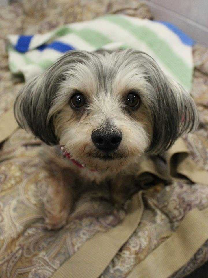 My name is Boo! I am a 3-year-old female Morkie (Maltese Yorkie mix). I am a sweet, gentle little girl. I am looking for a quiet home with dog-savvy kids, and a family who will be patient with me while I'm settling in. I love going for walks or hanging out with my family at home. I get along with other small dogs, but bigger dogs scare me sometimes! For more information, please call, visit, or email the shelter. Buddy Dog Humane Society, Inc. Sudbury, MA (978) 443-6990 or info@buddydoghs.com