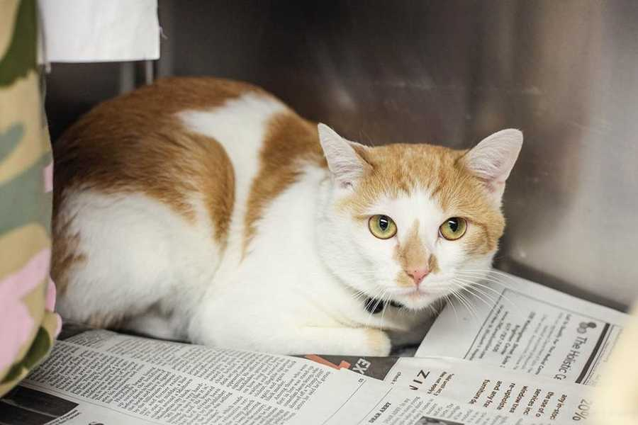 My name is Casper. I'm a 1.5 year old male DSH. I'm very sweet and would love to meet you! For more information, please call, visit, or email the shelter. Buddy Dog Humane Society, Inc. Sudbury, MA (978) 443-6990 or info@buddydoghs.com