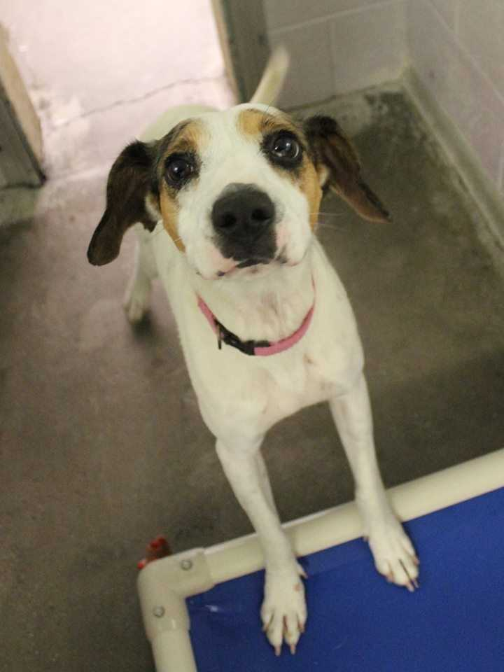 My name is Chloe! I'm a 1-year-old female Catahoula mix. I am a sweet, energetic girl. I am crate-trained and mostly housebroken. I can be a little nervous when first meeting new people, but once I warm up to you, we'll be best buddies! I would be so thankful to be part of a home where I can get lots of exercise and go to a training class. For more information, please call, visit, or email the shelter. Buddy Dog Humane Society, Inc. Sudbury, MA (978) 443-6990 or info@buddydoghs.com