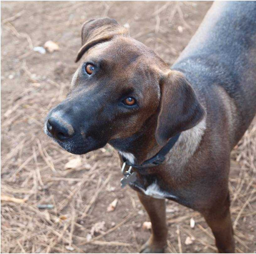 My name is Kimber! I am a 2-year-old male Hound mix. I am incredibly sweet and although I can be a little shy when I first meet new people, I warm up quickly! I get along well with other dogs, and with cats too! Because of my size and strength, I will do best in a home with kids ages 13+. I would be so grateful to be part of an active, outdoors-y home where I can be part of all your adventures! For more information, please call, visit, or email the shelter. Buddy Dog Humane Society, Inc. Sudbury, MA (978) 443-6990 or info@buddydoghs.com