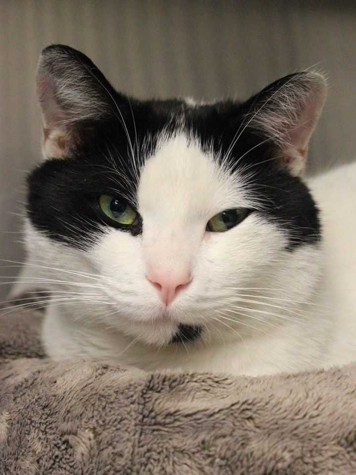 My name is Monroe! I am a 2-year-old male DSH. I am very sweet and friendly. I was found as a stray but I'm ready to be part of a forever home! For more information, please call, visit, or email the shelter. Buddy Dog Humane Society, Inc. Sudbury, MA (978) 443-6990 or info@buddydoghs.com