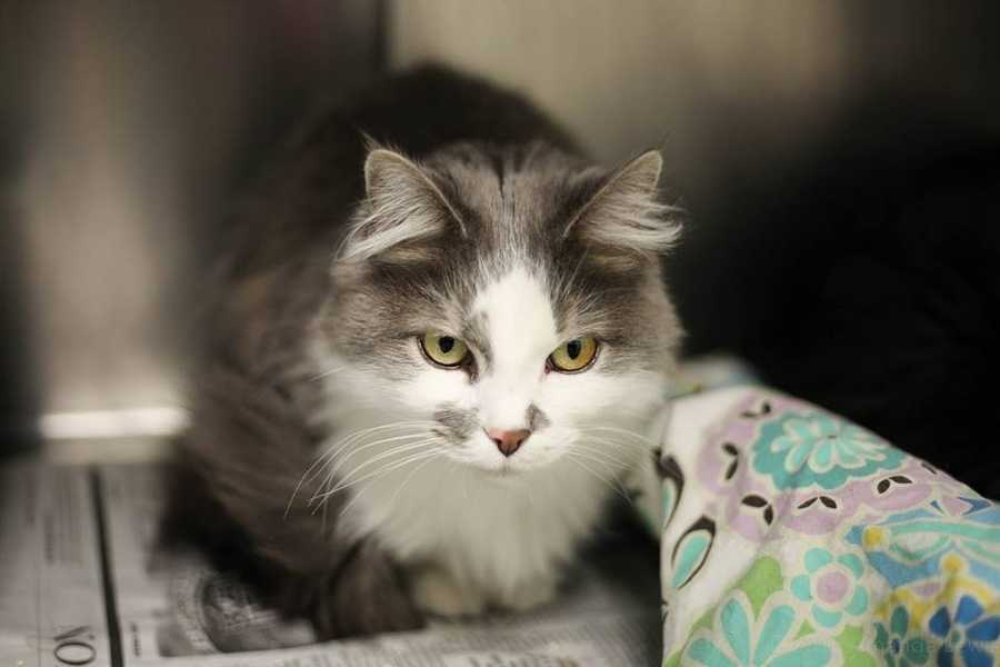 My name is Pepper and I am a 5 year old female DLH. I am one half of a bonded pair. We had a loving home, but our owner had a medical issue and could no longer care for us. We are hoping to find another quiet home. We are playful but hide when guests come to visit. For more information, please call, visit, or email the shelter. Buddy Dog Humane Society, Inc. Sudbury, MA (978) 443-6990 or info@buddydoghs.com