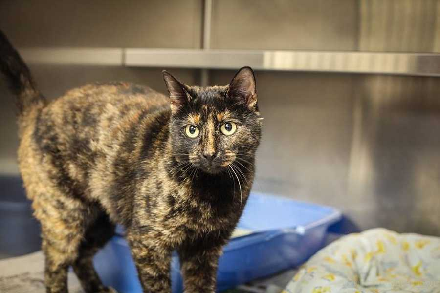 My name is Shay. I'm a 5 year old female DSH. I was found as a stray so not much is known about me but so far I seem quite friendly. For more information, please call, visit, or email the shelter. Buddy Dog Humane Society, Inc. Sudbury, MA (978) 443-6990 or info@buddydoghs.com