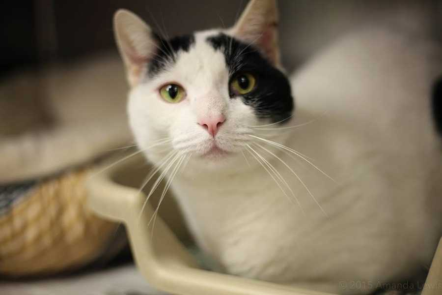 My name is Smudge. I'm a 3.5 year old male DSH. I'm a bit shy when I first meet people, but I warm up after a while. I'm a very active cat who loves to climb and stay busy. For more information, please call, visit, or email the shelter. Buddy Dog Humane Society, Inc. Sudbury, MA (978) 443-6990 or info@buddydoghs.com