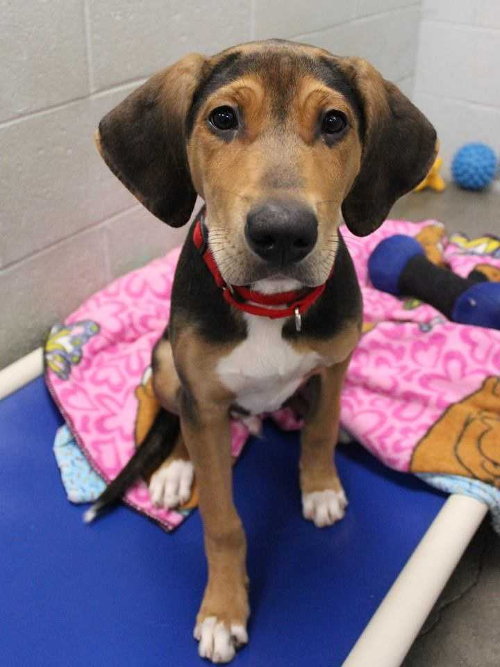 My name is Todd! I am a 4-month-old male Beagle mix. I am still just a puppy and I'm looking for a family who has time to train me! I am super loving and playful, and I'm very friendly. I get along well with kids ages 8+ For more information, please call, visit, or email the shelter. Buddy Dog Humane Society, Inc. Sudbury, MA (978) 443-6990 or info@buddydoghs.com
