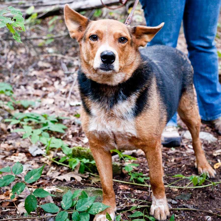 Big Mac came to us from Louisiana. He is a very wiggly boy who loves to go for walks, play with toys and get lots of attention. He needs to be in an adult only home and be the only dog. This handsome boy is already crate trained. He is a bit overweight so he is hoping his new home will help him shed some pounds. Come meet him today! More
