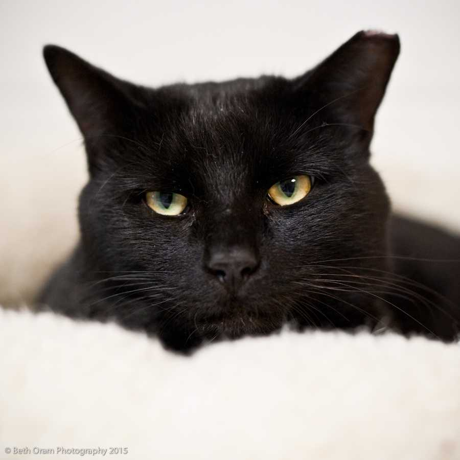 Meet Darth Vader!! He is a very sweet, large boy! Darth Vader is a quiet boy but has a lot of love to give. He loves to be pet, and is a big lap cat. Darth Vader likes to play with some toys, more if his human friends will play with him. Darth Vader seems to do well with cats but doesn't have to go home with one. He would do well in a home with children over 10 years of age and possibly cat friendly dogs. More