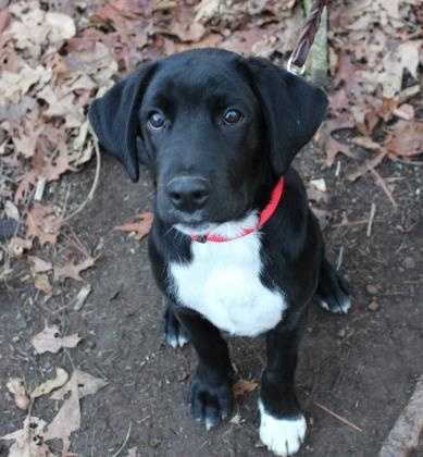 Radley and his brother Rowan came to us from South Carolina. Radley is a young guy who is eager to please and eager to learn. Radley is a puppy so he is going to benefit from attending basic obedience classes. He would likely do well with children. Come meet him today. More