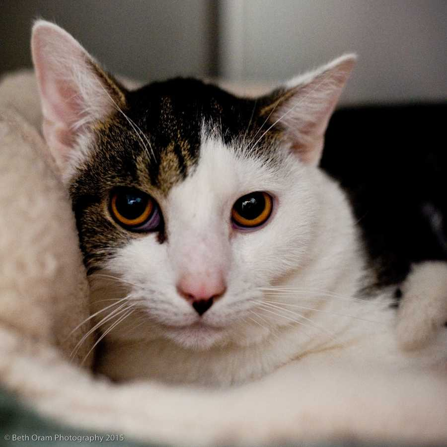 Meet Vito (pictured) and Rocco. These bonded brothers are currently in a foster home waiting for a new home. They came from a home with 2 young kids and were very friendly but are stressed about moving to a new place. They like being pet and being with people they know but would be happier with older kids. More