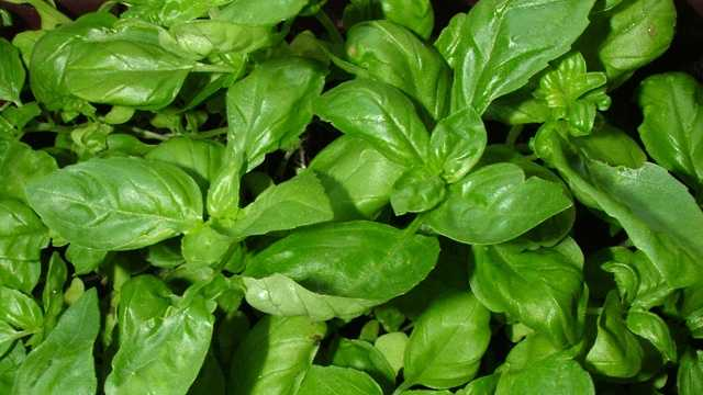 Basil is a staple in several different dishes, but it also has anti-bacterial and anti-inflammatory properties. It's also a good source of magnesium, vitamin K, and vitamin C.