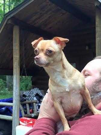 Bella is 5 year old Chihuahua. She is great with dogs and loves playing with her foster siblings. Bella is always up for an adventure and loves to play. Bella is very affectionate and would do great in a home with older children. More