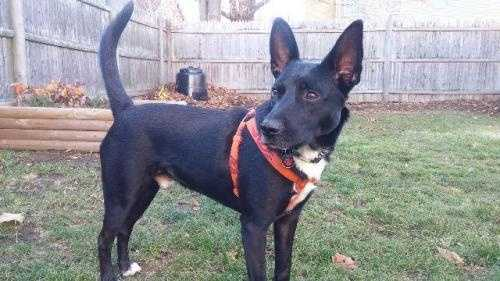 Bixby is a 2-3 year old Black Lab Basenji mix. He is great with other dogs and loves to play with his toys. He is has excellent house manners and already is house trained, and has mastered certain obedience commands. Bixby would love a home that can help him build his confidence. More