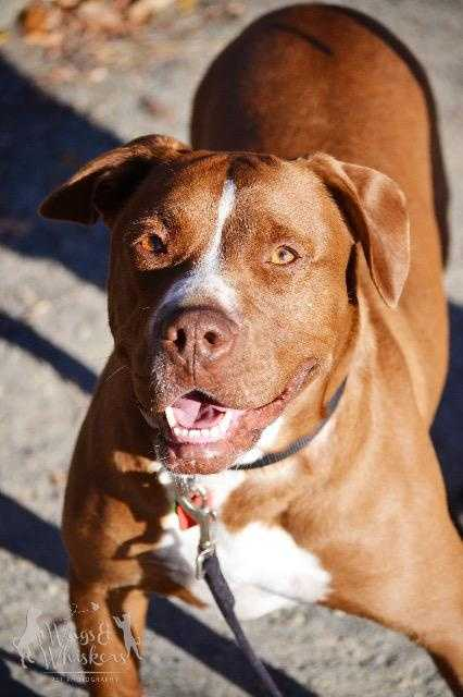 Bubba is a 4-5 year old Lab Terrier mix. He is all about fun, he loves playing with dogs and people. He loves to go on long walks and says hello to everyone he meets. Bubba would love an active home that give as much love as he gives out. More