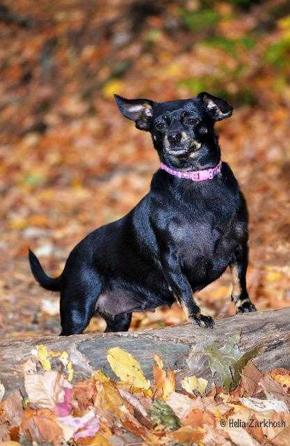 Kaitlyn is a 4-5 year old Chihuahua/Dachshund mix. She bonds immensely with her people and will talk when excited. She is very lovable and is somewhat of a couch potato. Kaitlyn is looking for a home that can provide her with love, consistency and an open spot of the couch. More