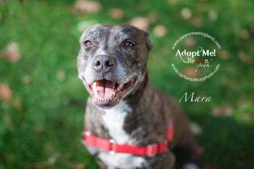 Mara is a 4 year old Pit Bull Terrier mix. She is an extremely friendly and loving dog who does great with kids. She is currently in training and doing extremely well. Mara loves toys, belly rubs and is extremely toys. Mata is looking to be the only pet in her forever home. More