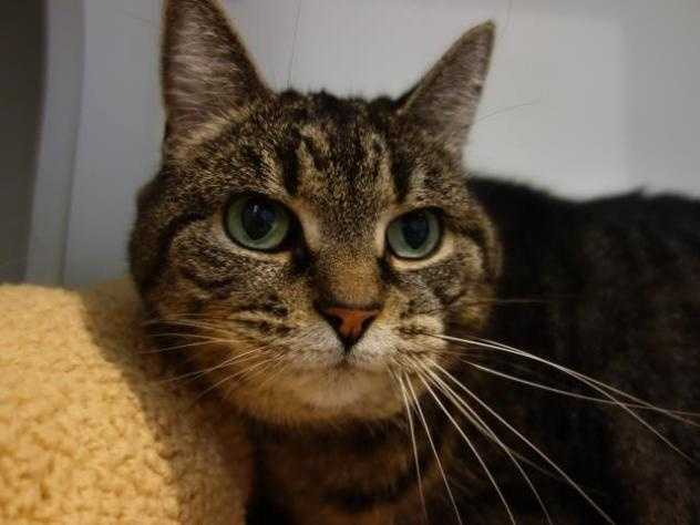 Hi my name is Binx and I am a super sweet girl of 13 years. I am looking for a quieter home, maybe with one or two adults that want a calm, mellow cat. I still like to play with wand toys and catnip mice, but I also like quiet times laying in the sun. I prefer a peaceful existence, and I am very happy to live in a smaller space and be an indoor only cat. A condo or apartment would be great. Click here