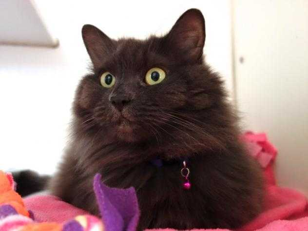 This pretty ball of gray fluff is Grace. She loves to have her beautiful long hair brushed and she always looks beautiful. She is 4 years old, an indoor only kitty and she is looking for a quiet home where she can be an only pet. Click here
