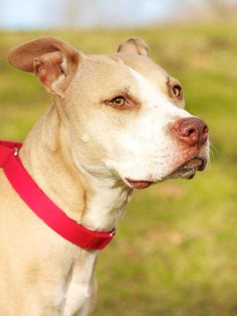 Beautiful Diamond is a very sweet eight year old girl, super friendly and patiently waiting for someone to pick her! She loves to go for walks and really enjoys playtime. Diamond may be okay with another dog, but she will need a meet and greet to see if she approves. No kitties though please, Diamond is not a fan. She has lived with kids in her previous home, older kids that are used to dogs would be okay. Click here