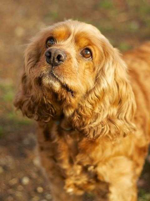 Dora is a sweet cocker spaniel looking for a older sassy lady. She has lived with dogs in the past, but can be a bit fresh when first meeting. Because of this, we are recommending that she should probably be the only dog in the home. Click here