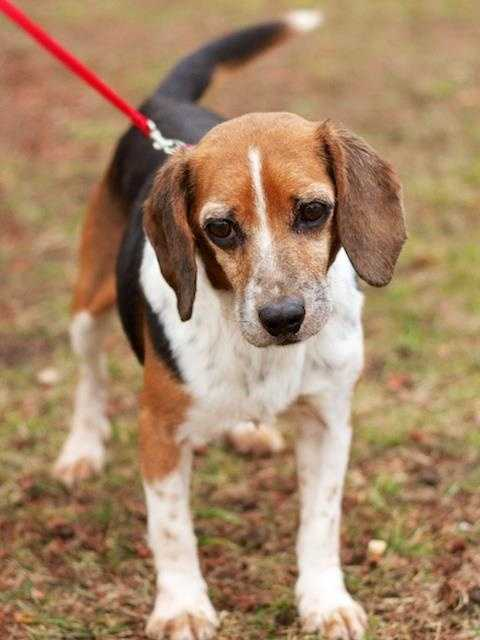 Who is the cutest beagle ever? Henry that's who, he is eight years old and can't wait to find a new home. Henry will be very happy to live with kids, cats and other dogs, such a good boy! His new adopters should have a consistent schedule for potty breaks while he transitions to his new home. Click here.