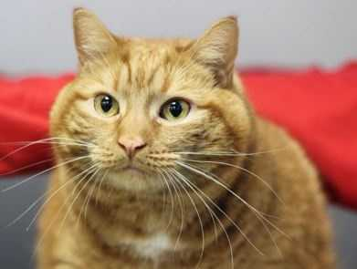 Tom Hanks is a fun guy who enjoys playtime, people watching and petting. He's got a cute stumpy tail, which makes him kind of adorable. he also enjoys uses a scratch pad and playing with boxes. More