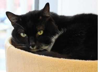 "Meet Burberry, a quiet low-maintenance guy looking for a fresh start. Burberry likes gentle petting, especially on his back and the top of his head. When you pet him, he will often get up to help you do a better job! Burberry has the cutest little ""milk mustache"" and long, elegant whiskers. If you're looking for a sweet boy to add to your quiet home, Burberry might be the kitty for you! More"