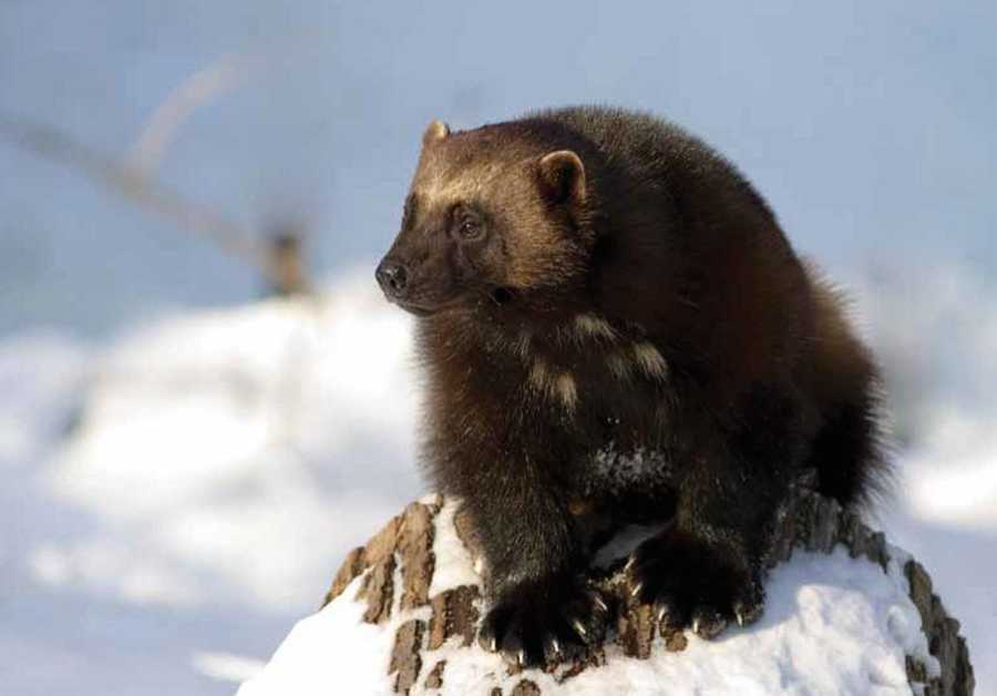 A wolverine in Canada