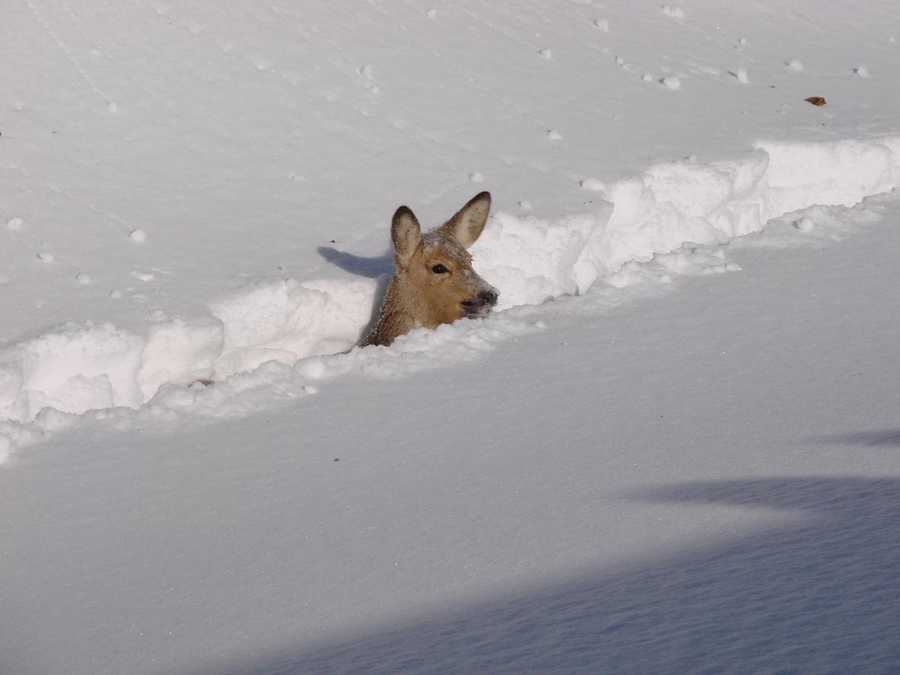 A deer in the Russian Far East