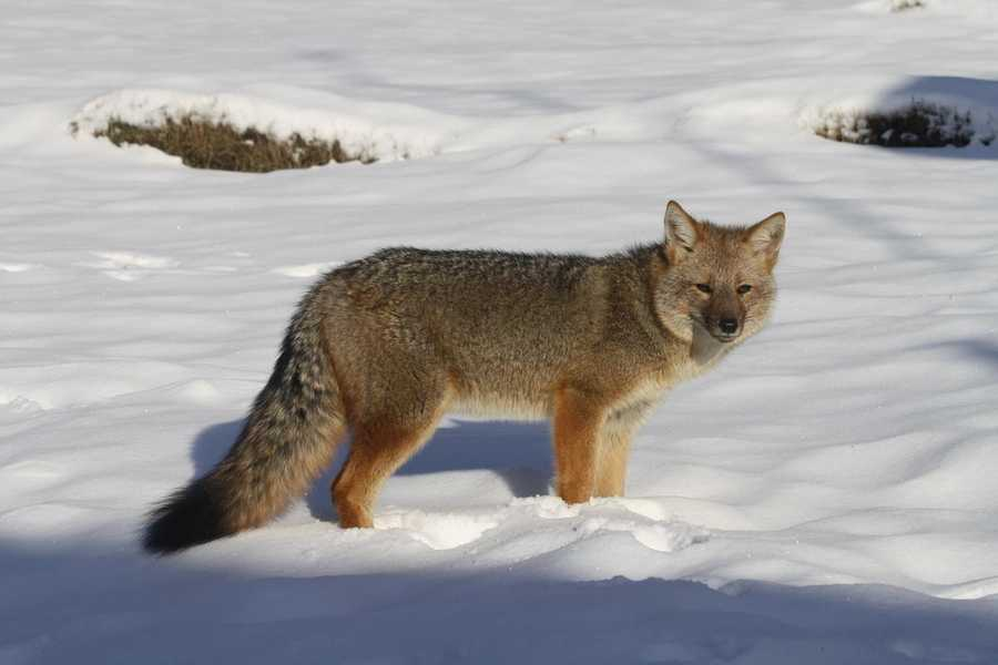 A culpeo fox in Chile