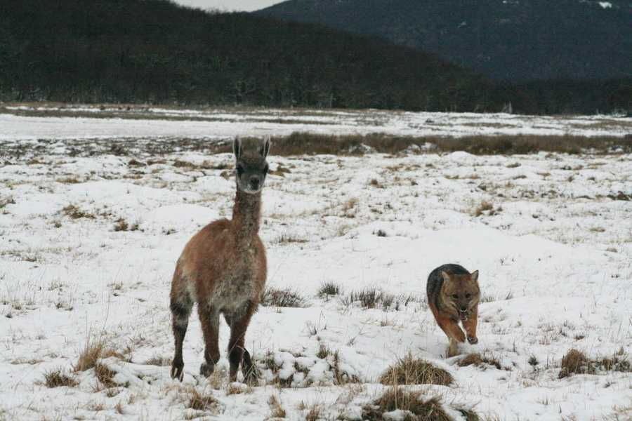 A fox chasing a young guanaco in Chile