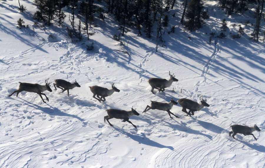 Caribou in Canada