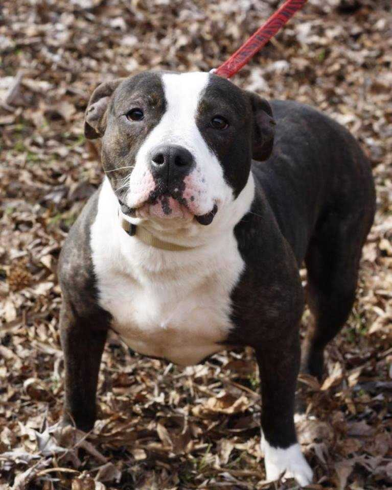 Allie - Pitbull mix, 2 years, female, 50 lbs. Allie is an amazing girl who is great with dogs, cats, and loves kids! She is housebroken and is working on her leash manners, she would make a great family dog! More