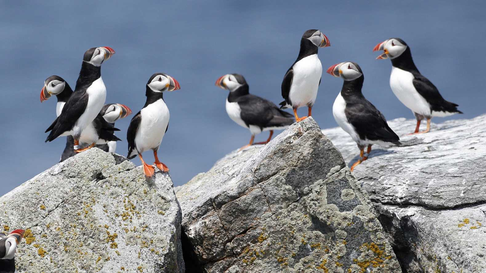 In this Aug. 1, 2014, file photo, Atlantic puffins congregate near their burrows on Eastern Egg Rock, a small island off the coast of Maine. Scientists say they have cracked the code about where Maine's beloved, colorful Atlantic puffins go in the winter. The answer is somewhat surprising: they float out in offshore waters off the New Jersey coast.