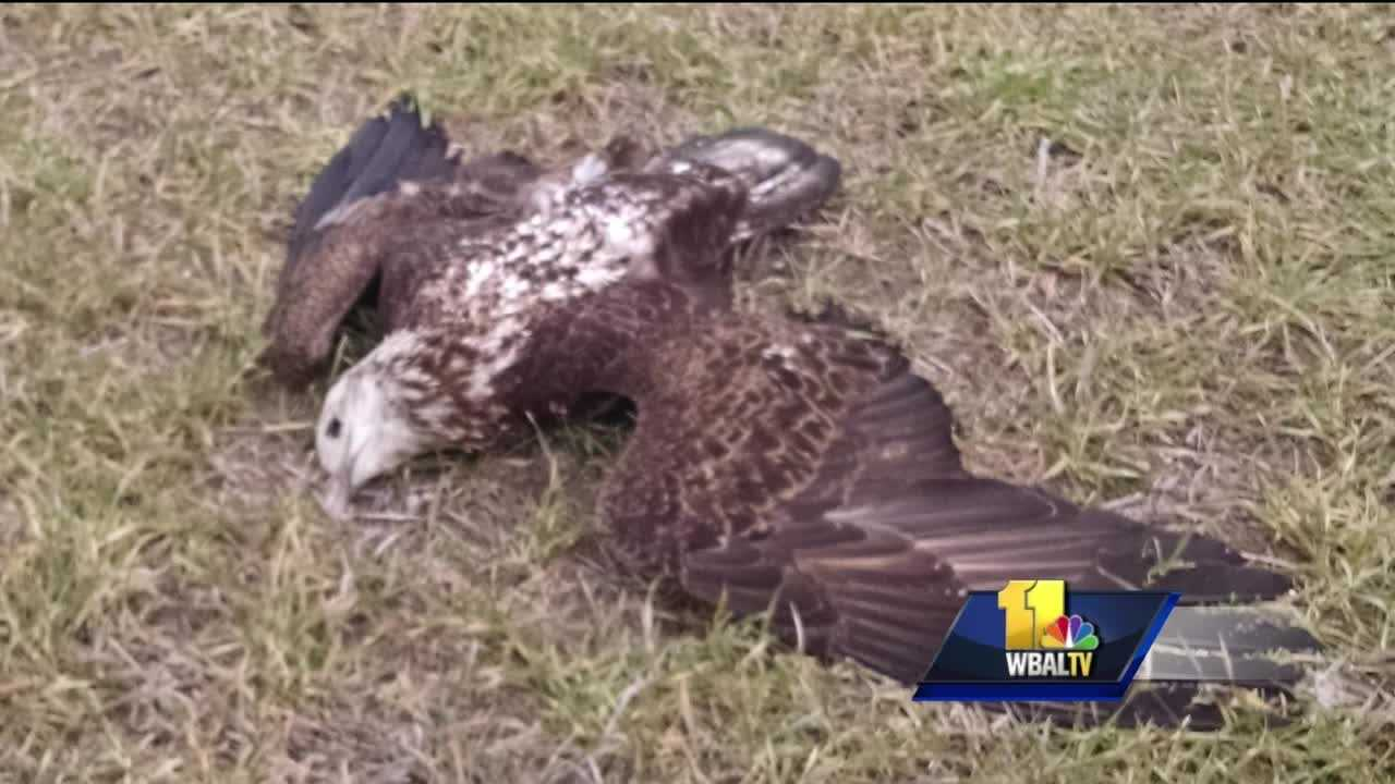 A cluster of bald eagles found dead on the Eastern Shore has prompted a federal and state investigation. Officials said a man discovered some of the birds Saturday on a farm in Federalsburg in Caroline County. State officials have a working theory, saying that the birds were poisoned. But the person who owns the property said there's no reason for poison to be there.