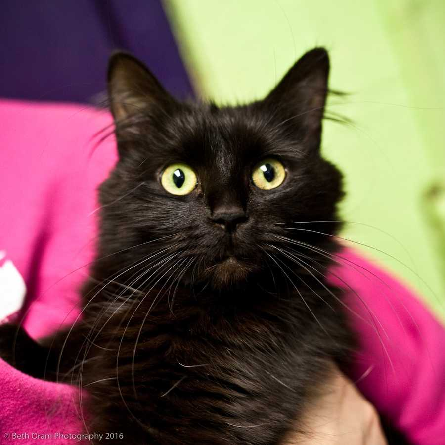 Meet Adele! This pretty girl is ready for a family to spoil her. She gets along well with other cats. Since we have not seen Adele with kids, she would be best with teens and adults. Come meet this sweet girl today! MORE