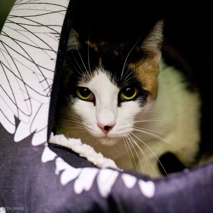 BoBo is a talkative lap cat who is ready for her forever home. She is a typical calico in that she doesn't always enjoy the company of other cats, and would prefer to be the only cat. She is playful, and loves string toys. One of her fun quirks is that she enjoys drinking from a running faucet. MORE