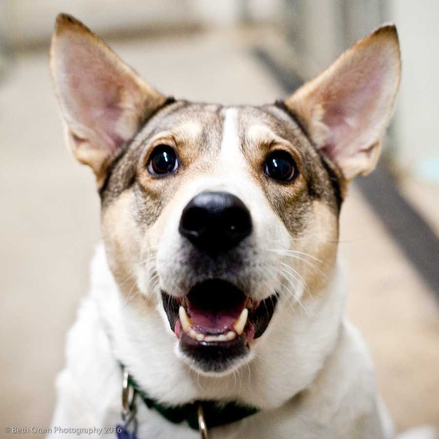 Lanie is a striking cattle dog mix who is overweight! She is new to the shelter and we are still learning about her. Please call the shelter for more info! MORE
