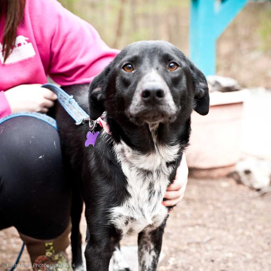 Sasha is a gorgeous young looker. She is new to the shelter and we are still learning about her. She is a sensible size and is around 45 pounds. She enjoys being around other dogs. Please come meet her or call for more info! MORE