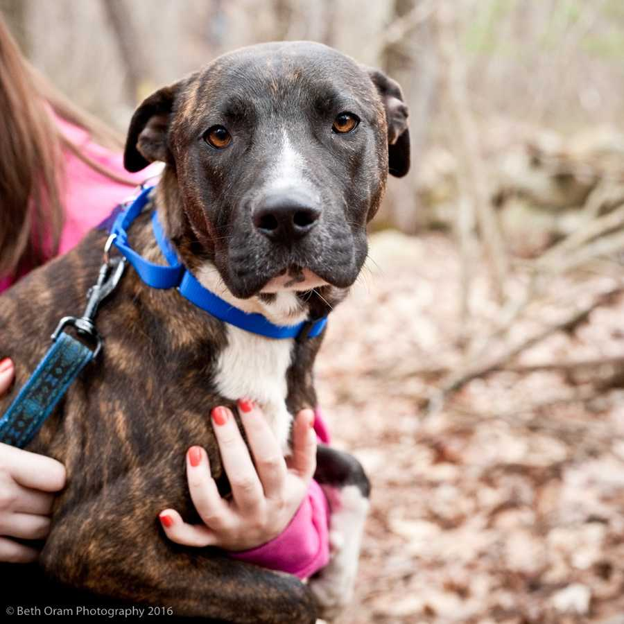 Shadow came to us from South Carolina. He had lived with a family since puppyhood and they didn't want him anymore. Shadow is an energetic young dog who will benefit from training. We are still getting to know Shadow so please feel free to stop by to meet Shadow. MORE