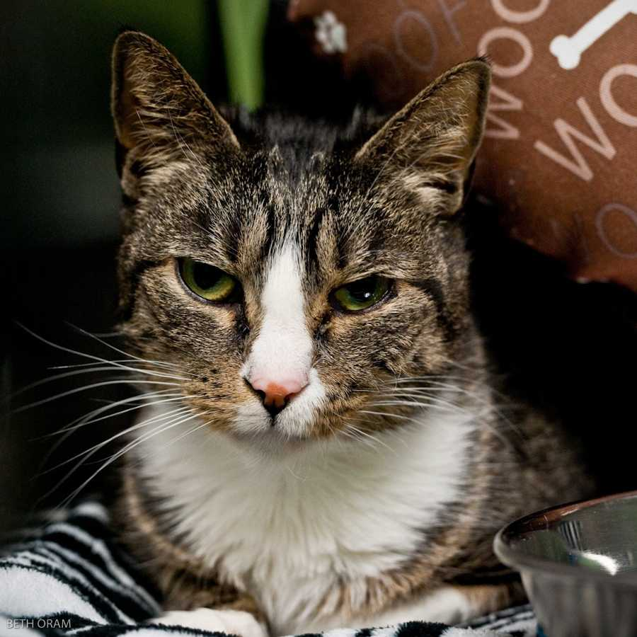 Tappy is a sweet and affectionate cat who is ready to be the center of attention. She has lived with other cats for most of her life, and loves to be around them. One of her interesting quirks is that she enjoys drinking water from a running faucet! MORE