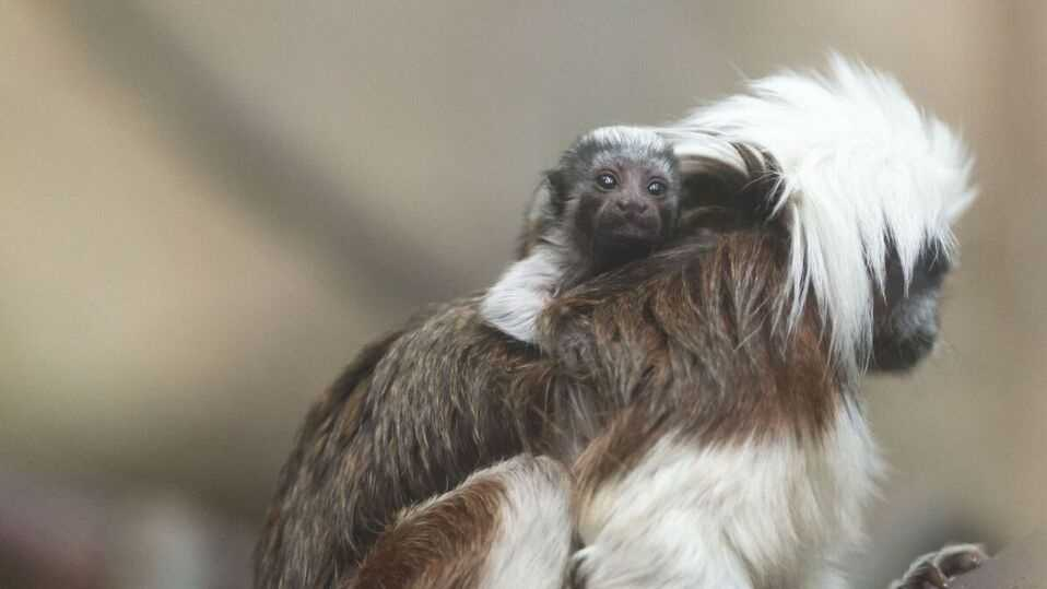 A cotton-top tamarin was born at Boston's Franklin Park Zoo and is now on exhibit with its parents and siblings.