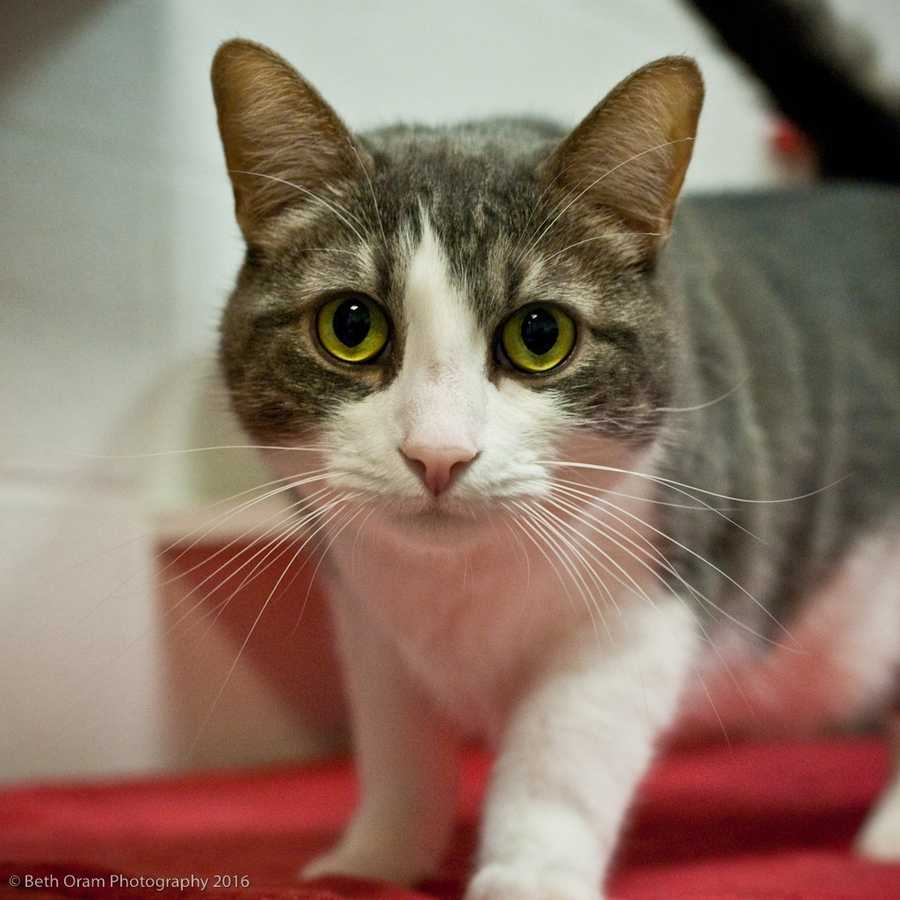 Stanley is front declawed. He is a very active and friendly cat. He acts a lot like a dog. He doesn't mind being picked up or petted. He purrs when given lots of attention. He is fearless and loves to play in cardboard boxes. He is acceptable with children but please no dogs. MORE